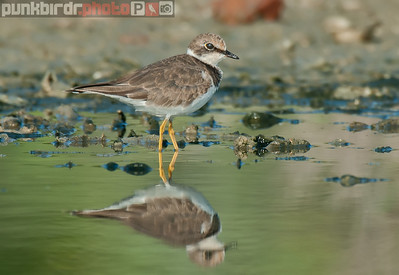 little-ringed plover (charadrius dubius)