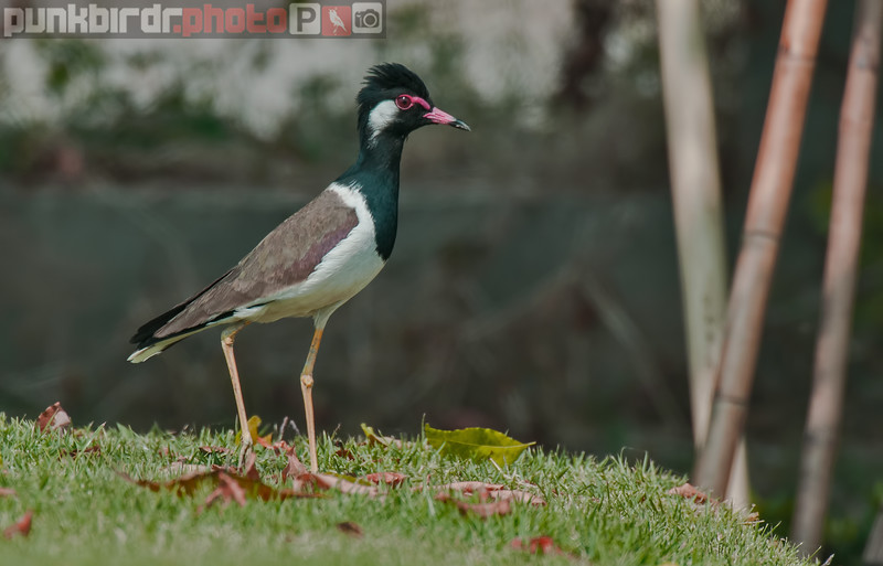 red-wattled lapwing (vanellus indicus)