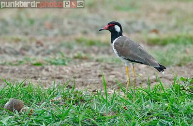 Red-wattled Lapwing (Vannellus indicus)