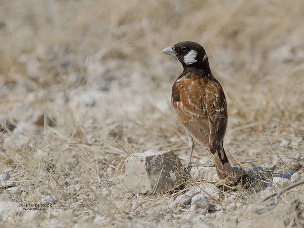 Chestnut-backed Sparrow-Lark, Etosha NP, NAM, Jul 2011