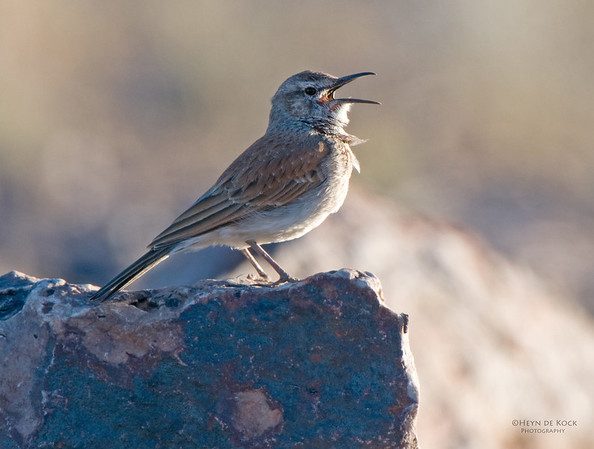 Karoo Long-billed Lark, Fish River Canyon, Namibia, Jul 2011-1 (1)