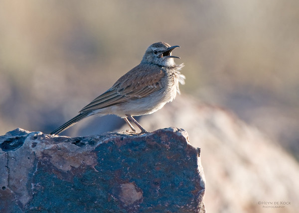 Karoo Long-billed Lark, Fish River Canyon, Namibia, Jul 2011 (1)
