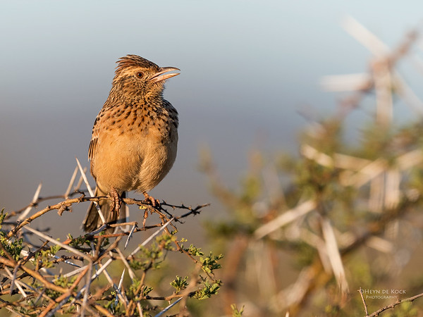 Rufous-naped Lark, Zimanga, South Africa, May 2017-1