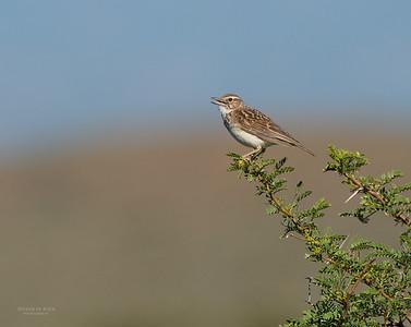 Sabota Lark, Karoo National Park, SA, Jan 2014-1