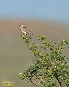 Sabota Lark, Karoo National Park, SA, Jan 2014