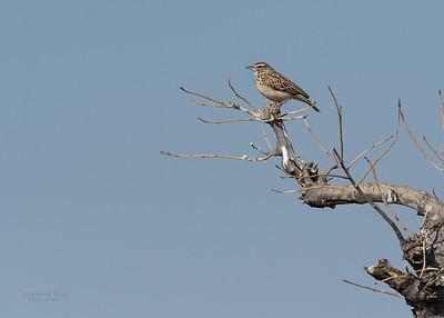 Sabota Lark, Mashatu GR, Botswana, May 2017-1