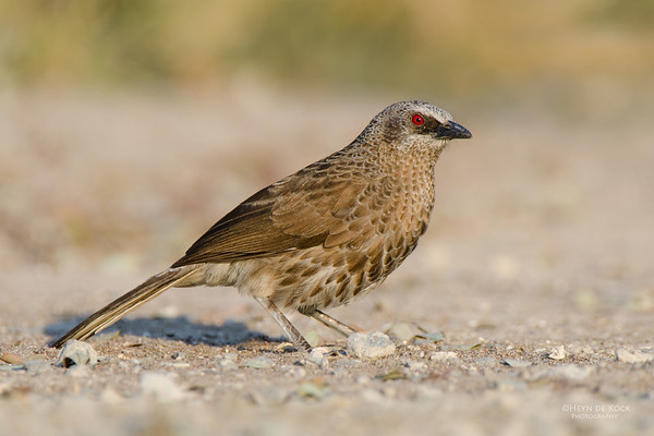 Hartlaub's Babbler, Shakawe, Botswana, Jul 2011-1-Recovered