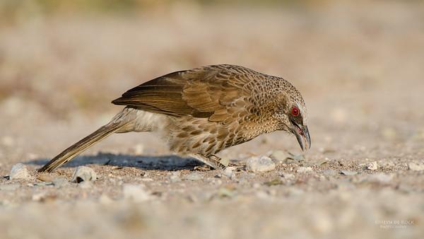 Hartlaub's Babbler, Shakawe, Botswana, Jul 2011-2