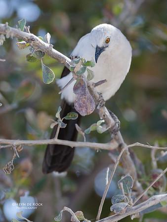 Pied Babbler, Etosha NP, NAM, Jul 2011-1