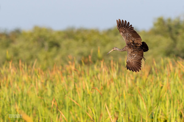 Limpkin, Kissimmee Swamp, Kenansville, FL, US, May 2018-3