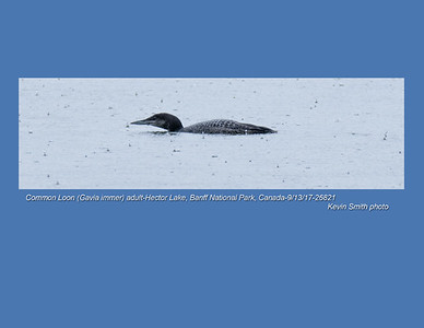Common Loon A26821