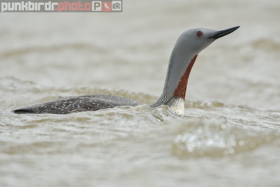 Red-throated Loon (Gavia stellata)