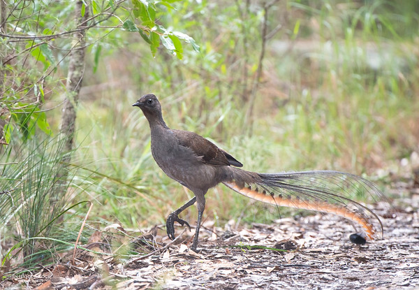 Superb Lyrebird, Bangalee, NSW, Aus, Jun 2013