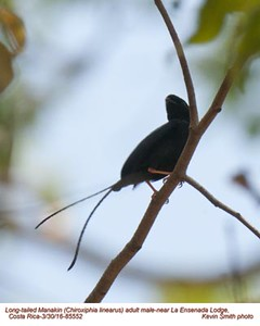 Long-tailed Manakin M85552