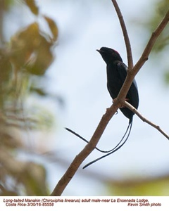 Long-tailed Manakin M85558