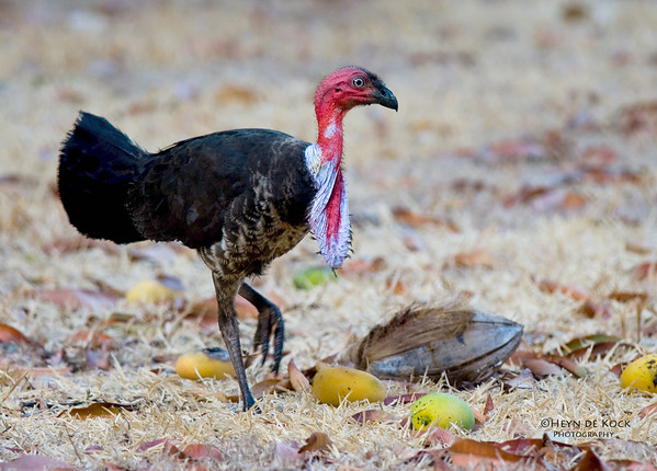 Australian bush Turkey, race purpureicollis, Iron Range