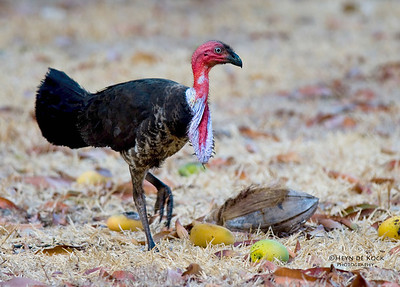 Australian bush Turkey, race purpureicollis, Iron Range