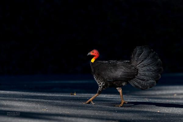 Australian Brush-turkey, Lake Eacham, QLD, Aug 2020-1