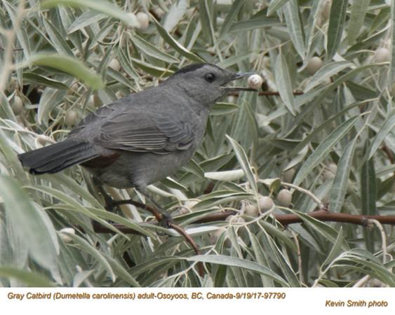 Gray Catbird A97790