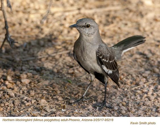 Northern Mockingbird A95218