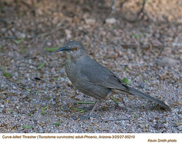 Curve-billed Thrasher 95210