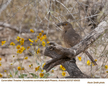 Curve-billed Thrasher A85435