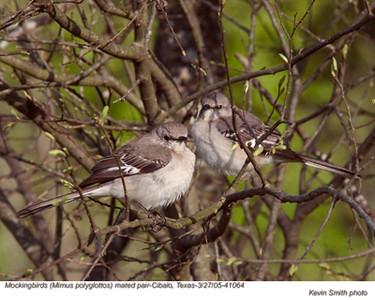 MockingbirdsP41064