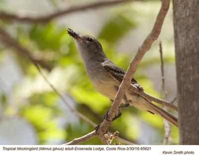 Tropical Mockingbird A85621