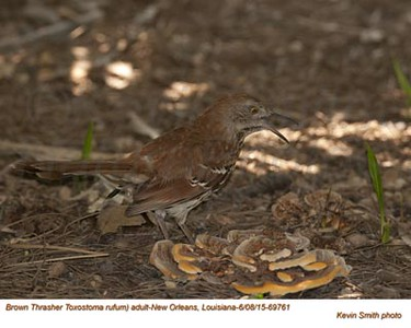 Brown Thrasher A69761