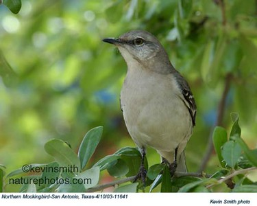 NorthernMockingbird11641