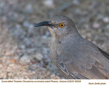 Curve-billed Thrasher 95228