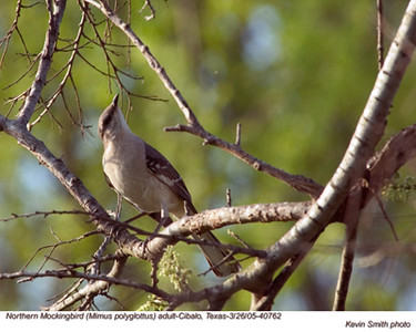 NorthernMockingbird40762