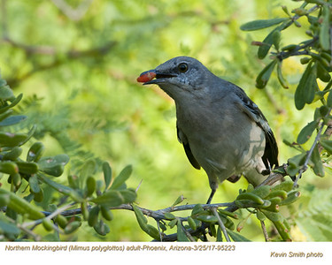 Northern Mockingbird A95223