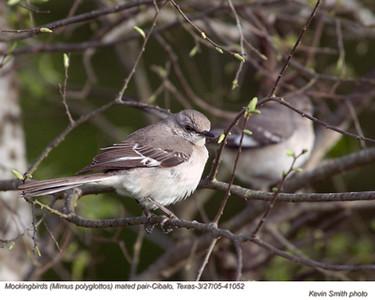 MockingbirdsP41052