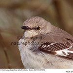 NorthernMockingbird41073