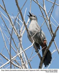 Gray Catbird A68983