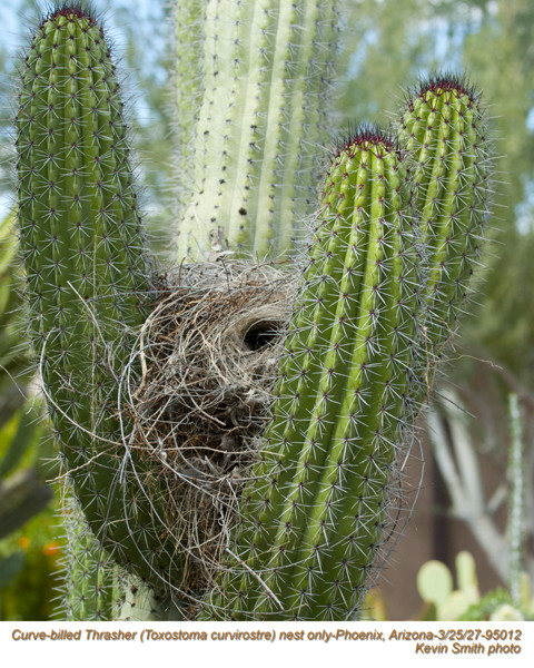 Curve-billed Thrasher nest-95012