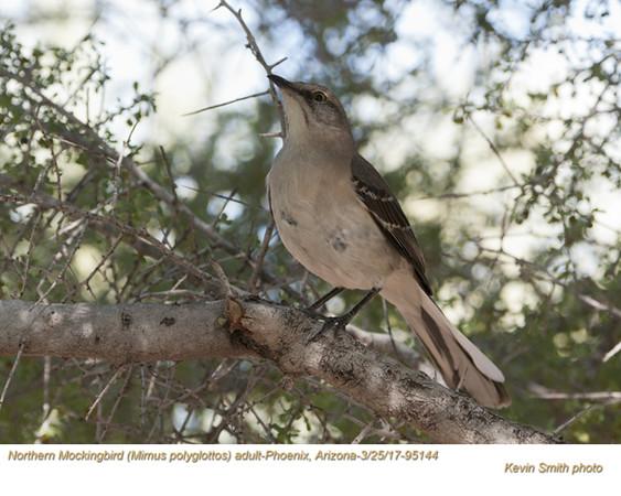 Northern Mockingbird A95144