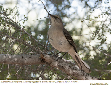 Northern Mockingbird A95144
