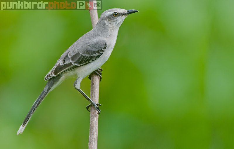 tropical mockingbird (mimus gilvus tobagenis)