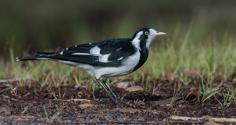 Magpie Lark, f, Tin Can Bay, QLD, March 2017-1a
