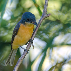 Vanikoro Flycatcher, f, Nandi, Fiji, Dec 2011-1