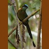 Blue-crowned Motmot A84403