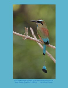 Turquoise-browed Motmot A84976-1