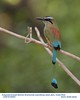 Turquoise-browed Motmot A84957