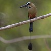 Turquoise-browed Motmot A84976
