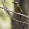 Turquoise-browed Motmot A84935