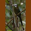 Blue-crowned Motmot A84404