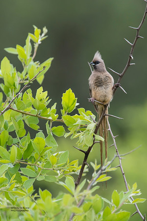 Speckled Mousebird, Pilansberg National Park, SA, Dec 2013
