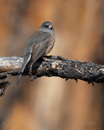 Dark-eyed Junco, Yellowstone NP, WY, USA May 2018-1